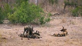 game reserve : African wild dog couple with cubs in Kruger National park, South Africa; Specie Lycaon pictus family of Canidae Stock Footage