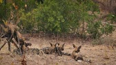 アフリカの : African wild dog mother feeding her cubs in Kruger National park, South Africa; Specie Lycaon pictus family of Canidae 動画素材