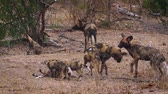アフリカの : Pack of African wild dog adults and young in Kruger National park, South Africa; Specie Lycaon pictus family of Canidae