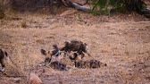 juvenil : Pack of young African wild dog playing in Kruger National park, South Africa; Specie Lycaon pictus family of Canidae Stock Footage