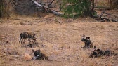 アフリカの : Pack of young African wild dog playing in Kruger National park, South Africa; Specie Lycaon pictus family of Canidae 動画素材