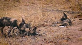 Pack of young African wild dog playing in Kruger National park, South Africa; Specie Lycaon pictus family of Canidae 動画素材