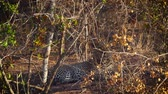 Leopard hidding in savanna in Kruger National park, South Africa; Specie Panthera pardus family of Felidae
