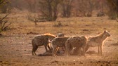 アフリカの : Spotted hyaena and black back jackal scavenging at dawn in Kruger National park, South Africa; Specie Crocuta crocuta family of Hyaenidae