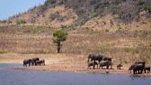 Herd of African bush elephants drinking and bathing in lake in Kruger National park, South Africa; Specie Loxodonta africana family of Elephantidae 動画素材