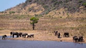 Herd of African bush elephants drinking and bathing in lake in Kruger National park, South Africa; Specie Loxodonta africana family of Elephantidae Stok Video