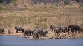 アフリカの : Herd of African bush elephants drinking and bathing in lake in Kruger National park, South Africa; Specie Loxodonta africana family of Elephantidae 動画素材