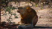 African lion male resting, yawning and grooming in shadow in Kruger National park, South Africa; Specie Panthera leo family of Felidae Stok Video