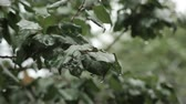 klorofil : raindrops on green leaves, rain in the forest. Stok Video