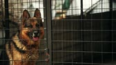 alemão : German shepherd dog is sitting in a cage
