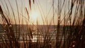 talos : A close up of grass stems that are swaying in the wind with a beautiful sunset in the background. Vídeos
