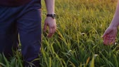 sunset : Close-up of lovers taking each other by the hand. Man and woman walk in long grass, hold hands. Slow mo, steadicam shot.