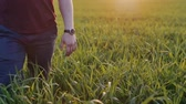 pasto : Close-up of lovers taking each other by the hand. Man and woman walk in long grass at sunset. Slow mo, steadicam shot. Vídeos