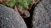 comum : A close-up of a brown frog sitting between two stones