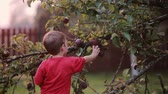 sunset : Cute smiling little boy helping with gathering and picks up apples from apple tree outdoor in the summer day