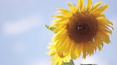 talos : Close-up view of sunflower against the background of the blue sky. Bee harvesting honey from flower.