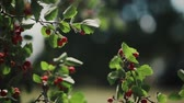 листва : Hawthorn berries on a branch on a summer day. Close-up view of red berries of hawthorn on bush. Стоковые видеозаписи