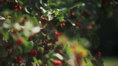 bush garden : Hawthorn berries on a branch on a summer day. Close-up view of red berries of hawthorn on bush. Stock Footage