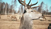 feno : Large brown deer looking in the camera and chews, herd of the animals on the background. Autumn meadow.