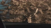 feno : Little deer walks on a safari near water in autumn day. Brown fawn approach the car, the hand feeds an animal. Vídeos
