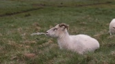 contato : White sheep lying on the green field. Farm animal grazing on the meadow, resting on the grass. Stock Footage