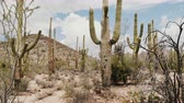 tucson : Beautiful atmospheric background shot, big Saguaro cacti growing very tall on a hot sunny day in Arizona desert USA.