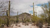 tucson : Camera quickly tilts up on big Saguaro cacti growing under hot sunny desert hill in natonal park near Tucson Arizona USA Stock Footage