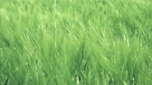 Wheat field swaying in the wind Stock Footage