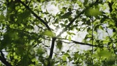 Close up Sunbeams shining through lush green leaves on branches. Warm spring sun shining through green foliage.