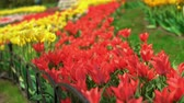 vůně : Floral exhibition at beautiful countryside. Colorful tulips are shaking by the fresh breeze.