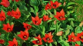 tulipan : Red flowers are blooming. Gorgeous flowers are blown by the morning breeze. Tulip pistil surrounded by stamens. Wideo