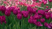 flowering bulbs : Amazing puple and pink tulips in the orangery. Diversity of tones of pink color.