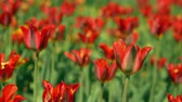 canteiro de flores : Rare sort of dutch tulips in botanical garden. Shaking greenery by the cool wind.
