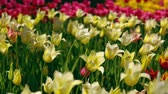 april : Colorful flowers bokeh effect. Romantic garden during springtime. Stock Footage
