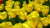 florescence : Breezy weather in the tulip valley. Morning sunlit on the dew drops. Stock Footage