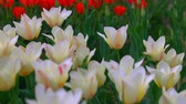 estufa : White and red with yellow tulips close up. Bloomin season in Holland.