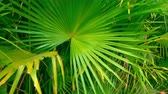 Rainforest plant under bright sun. Saw Palmetto leaves detailed view.
