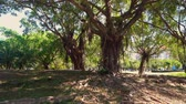egzotizm : Chinese Banyan Trees In Modern Park. Daylight Sunlight Stok Video