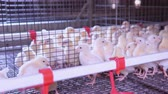 farmhouse : details poultry farm little cute hens walks