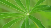 ramos : A fresh floral green leaf is swinging in the wind. Close-up.