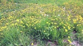 Yellow blossoming dandelions in a meadow. Among them come faded, fluffy. Vídeos