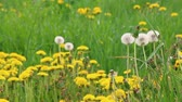 Three fluffy dandelions against the background of a flowering meadow.
