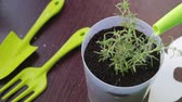 Watering seedlings. Rosemary branches planted in a pot are watered from a watering can.