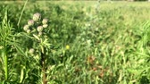 burr : Burdock blooms in the meadow. The background is blurred.