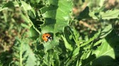 a major : Ladybug crawling on a prickly bluff.