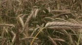 dry season : Field sown grain crops. Ripening spikelets begin to lean toward the ground. Stock Footage