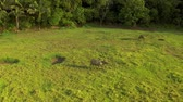 bivaly : Tropical countryside with green forest, field and buffalo. Carabao bull in sunny landscape. Asian rural land and agriculture in Siargao, Philippines.