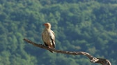 гриф : Egyptian vulture in Wildlife Reserve Madjarovo Bulgaria