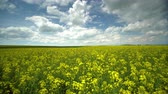 масличные культуры : Field of bright yellow rapeseed in spring