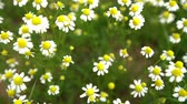 biedronka : Field of white daisy flowers or camomile as background Wideo